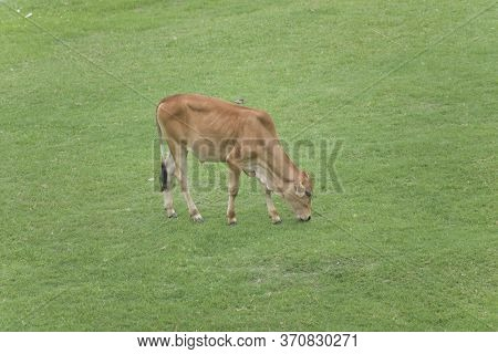 Cattle, Or Cows (female) And Bulls (male), Are The Most Common Type Of Large Domesticated Ungulates.