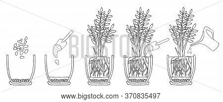 Transplanting Potted Flower Steps. Vector Instruction. How To Repot A Zamioculcas Plant. Hand Drawn