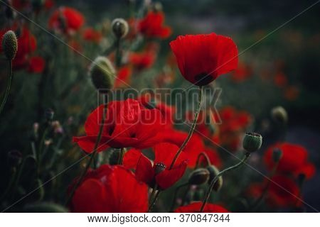 Beautiful Wild Poppies At Sunset In The Field, Close Up