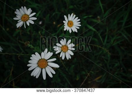 Chamomile In A Field On A Dark Ground Background, View From Above.