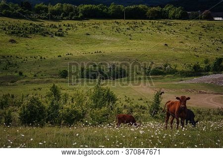 Young Calves Eat Fresh Green Grass On The Slopes Near The Farm.