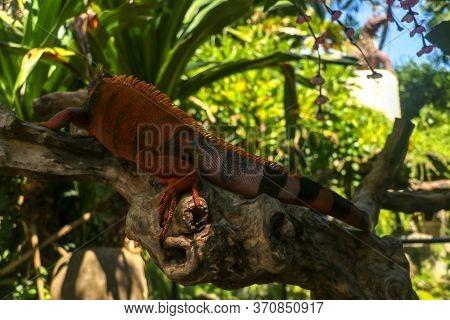 Full Body Side View Of Red Iguana. Red Iguana Climbing On Branch. Macro Photo Of Large Iguana Iguana