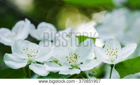 Beautiful Flowering Apple Trees. Background With Blooming Flowers In Spring Day. Selective Focus And