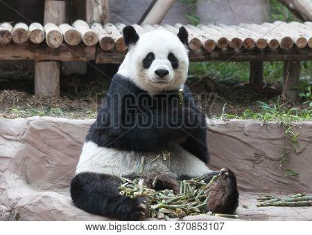 Famous Chinese Tourist Symbol And Attraction - Giant Panda Bear Eating Bamboo. It Is A Bear Native T