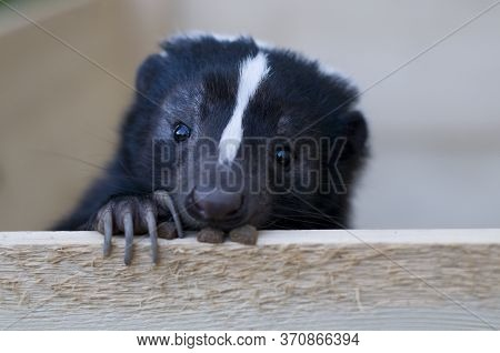 Black And White Striped Skunk With Dry Food Looking Out.