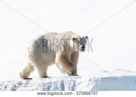 Adult male polar bear, Ursus maritimus, on the snow of Svalbard. This species has a decreasing population and is considered vulnerable.