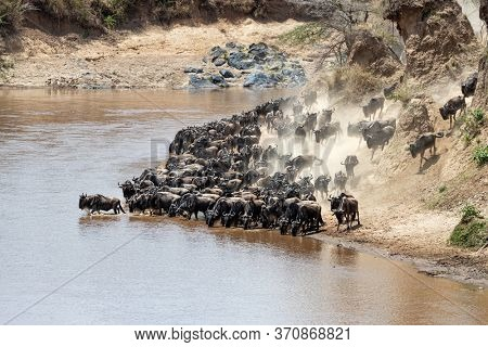 Wildebeests on the banks of the Mara River during the annual great migration. Pressure from behind causes the animal to enter the river, which will trigger the whole herd to cross. Masai Mara, Kenya.