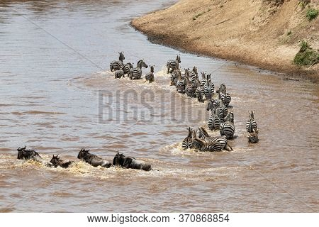 A herd of zebras join the wildebeest to cross te Mara River during the annual Great Migration in the Masai Mara, Kenya.