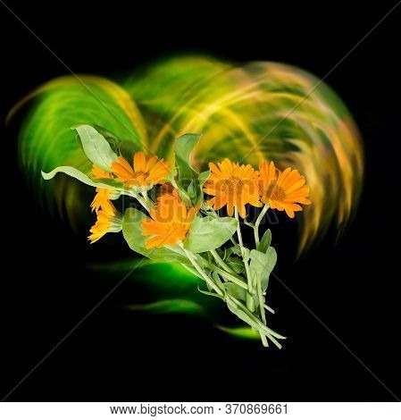 Calendula Flowers With Effect Of Luminous Vortex, Neon Lines On Black Background. Magic Of Illuminat
