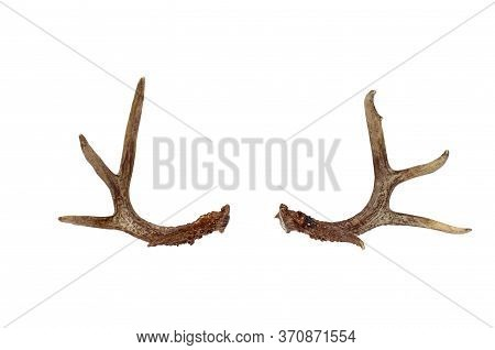 Real Deer Antlers Isolated Of A White Background With Clipping Path Included.