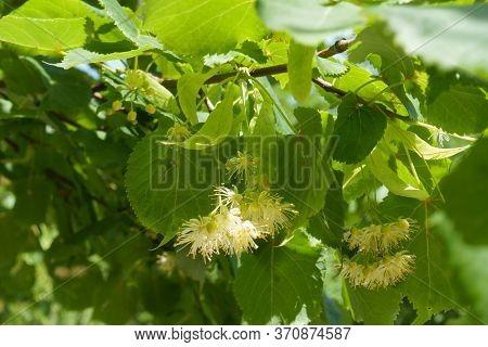 Beginning Of Florescence Of Linden Tree In June