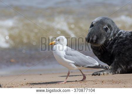 Coastal Wildlife. Adult Herring Gull (larus Argentatus) Walking On The Beach With A Seal Watching. S