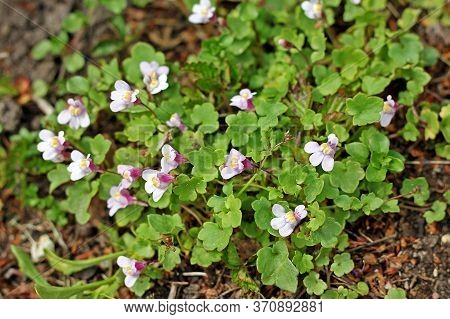 Cymbalaria Muralis, With Common Names Ivy-leaved Toadflax, Kenilworth Ivy, Coliseum Ivy, Oxford Ivy,