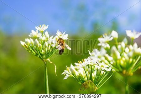 Honey Bee Apis Mellifera On White Flower While Collecting Pollen On Blurred Background Close Up Macr
