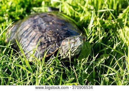 Pond Slider Turtle (trachemys Scripta) On The Green Grass, Close Up Image