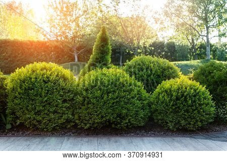 Generic Green Fresh Round Spheric Boxwood Bushes Wall With Warm Summer Sunset Light On Background At