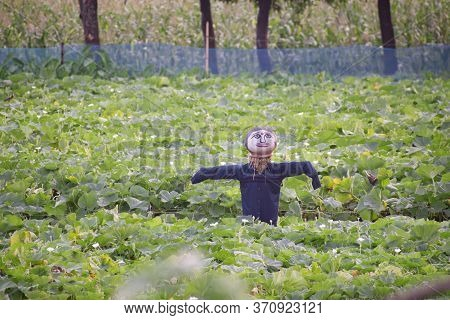 A Scarecrow Is A Decoy Or Mannequin, Often In The Shape Of A Human.