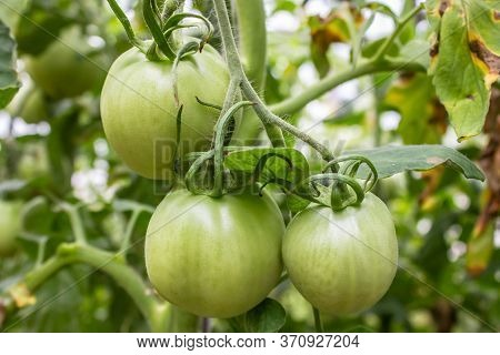 Unripe Tomatoes Ripen In The Organic Garden. Green Fresh Natural Vegetables