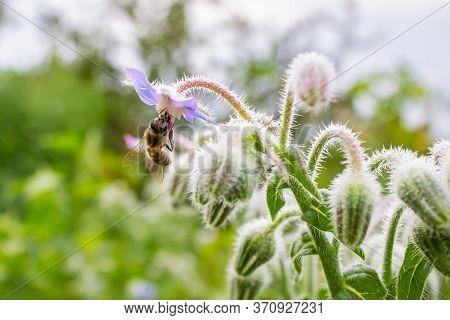 Borage (borago Officinalis), Also Known As A Starflower. Honey Bee Apis Mellifera  Collecting Pollen