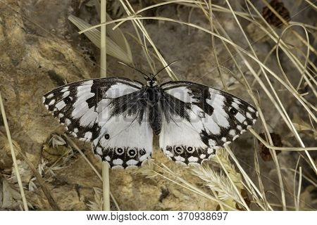 A Macro Photograph Of A Levantine Marbled White Butterfly Photographed Near Jerusalem, Israel