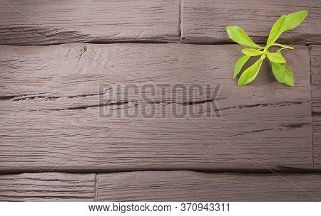 Fresh Stevia Leaves - Stevia Rebaudiana. Text Space