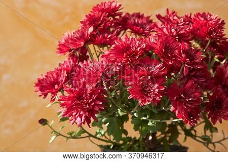 Pot Of Red Chrysanthemums, Autumn Chrysanthemum Flowers On A Yellow Background Illuminated By The Su