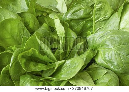 Washed Fresh Spinach Green Leaves Close Up