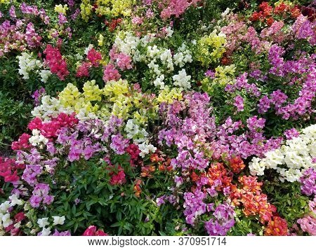 Flower Bed Texture With A Mix Of Multicolored Snapdragon Flowers In Full Bloom.