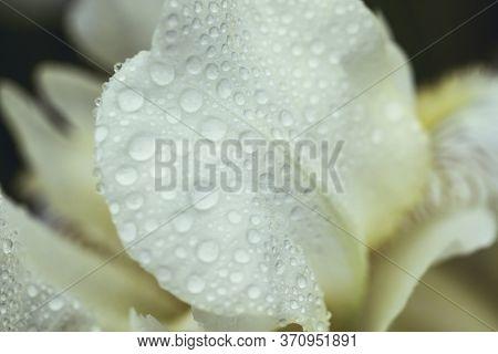 Beautiful Summer Flower. Iris. Perennial Rhizomatous Plant Of The Iris Family Iridaceae With Dew Dro