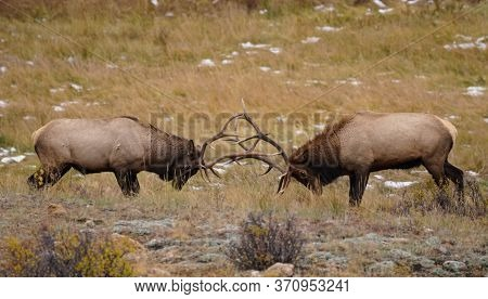 Two Bull Elks Battle For Mating Rites During The Rutting Season.