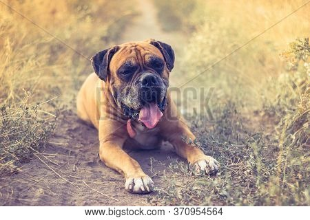 Old Tired Boxer Dog Lies In Yellow Grass Field