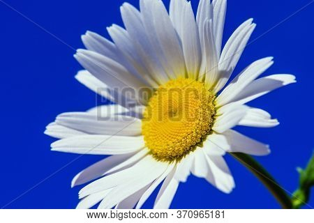 Daisy. White Daisy. Chamomile Ordinary Sunny Day In Summer.daisy Flower In Summer Close-up. Chamomil