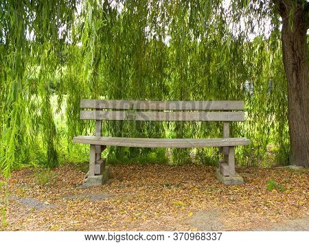 Wooden Bench And Sprawling Willow Tree. Green Willow Branches Hang Like Garlands.