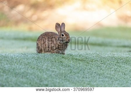 Marsh Rabbit Sylvilagus Palustris Eats Green Grass In Fort Myers, Florida.