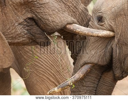 Close Up On Heads Of Two Young Elephants Greeting Each Other In Samburu Reserve Kenya