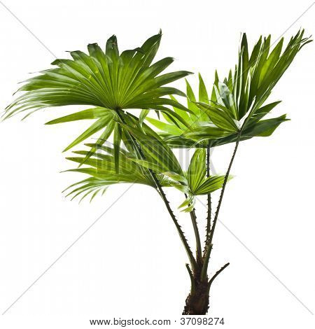 green palm (Livistona Rotundifolia palm tree) isolated