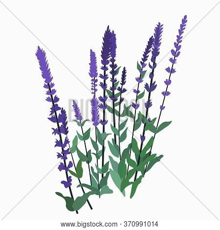 Vector Stock Illustration Of Sage. Purple Wildflowers. Meadow And Garden With Lavender. Medicinal Pl