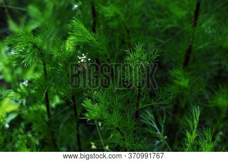 The Photo Of Horsetail And White Wild Flower Close-up