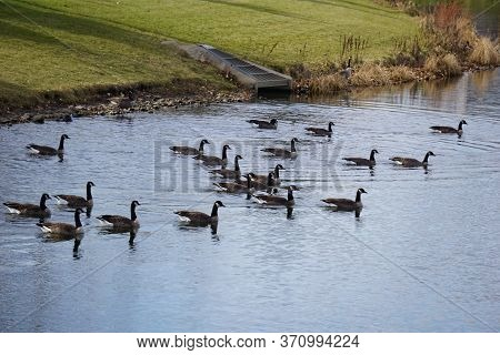 Flocks Of Migrating Canada Geese (branta Canadensis) Swim In A Small Lake In The Wesmere Country Clu