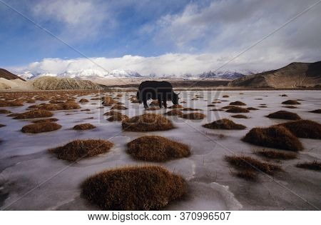 Photo of Yak Grazing on Tundra