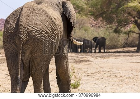 Rear View Of A Large Adult Male Elephant Approaching Other Members Of His Group As They Wait In The