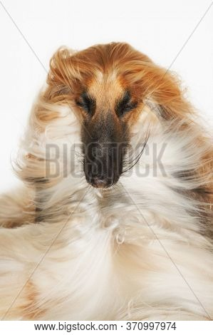 Afghan hound eyes closed windblown fur close-up