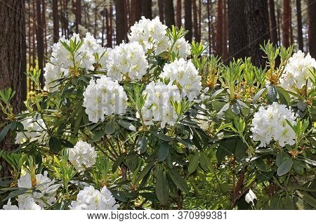 Rhododendron In Spring. Most Species Have Showy Flowers Which Bloom From Late Winter Through To Earl