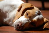 Libby the beagle sleeping on a dog day afternoon. poster