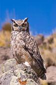 Great Horned Owl (Bubo Virginianus) in Patagonia Southern Argentina. poster