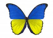 macro photo of butterfly in Ukraine flag colors isolated on white background poster