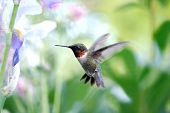 Ruby throated humming bird hovering in mid flight. Shallow dof flowers in background. poster
