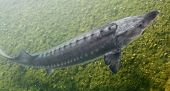 The Sturgeon. Big fish in the Danube river. This fish is a source for caviar and tasty flesh. poster