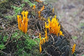 Yellow Stagshorn Fungus In A Wood In Autumn