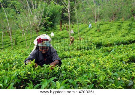 The Tea Plucker At Work